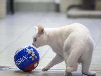 Blue-eyed Cat Will Perform Acts Of Salvation In The Football World Cupcompetitions Cat With Blue Eyes, World Cup, Football, Cats, Sports, Soccer, Hs Sports, Gatos, World Cup Fixtures