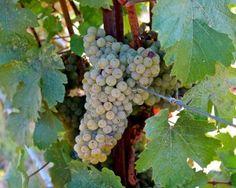 Ehrenfelser (Riesling x Silvaner) in Mokelumne Glen Vineyards, Lodi AVA. Photography by Randy Caparoso. #Lodi #wine #grapes