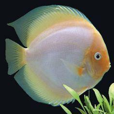 white discus fish - Google Search