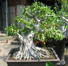 Researching Bonsai in Percé, Quebec Bonsai Ficus, Indoor Bonsai, Bonsai Art, Bonsai Garden, Indoor Plants, Indoor Outdoor, Ikebana, Terraria Tips, Plantas Bonsai