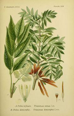 img / drawings trees shrubs / trees and shrubs drawings dimorphic 0077 Ash…