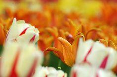 Japão tulip