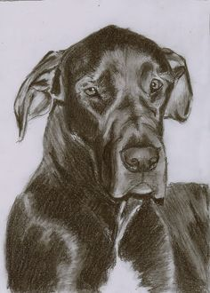 Sketch of my Great Dane by ChristianCowgirl116 on DeviantArt