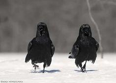 By Mika Honkalinna Raven Totem, Crow Images, Dark Wings, Jackdaw, Tlingit, Crows Ravens, Australian Birds, Bird Species, Magpie