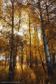 Autumn birch at Grand Teton National Park