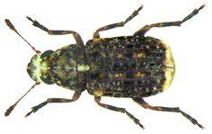 Dissoleucas niveirostris