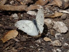 mlynárik repkový  Pieris napi Linnaeus