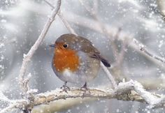 This brings back a memory for me.  A memory of walking to church Christmas morning with my Mom at my side.  The silence as the snow fell softly around us was magical, and there on a tree was a fat little robin watching us from his frosty branch.  England, Christmas 1979