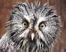 Bad hair day owl