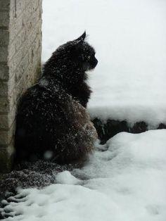 Maine Coon, black solid &white (n 09). A Nome Di Jabberwock. Orange Cats, White Cats, Black Cats, Snowshoe Cat, Happy Images, Witch Cat, Pretty Cats, Beautiful Cats, Races De Chats