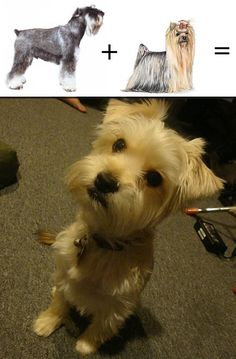 Schnauzer + Yorkie = Snorkie If you want a loyal, happy, hyperactive, wonderful friend; get u this dog!