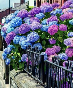A rare breakthrough in hydrangeas that will bloom the very first year, 'Garden Party' produces mophead flowers that are big and showy, reaching 8-10 inches in diameter! The striking blue or pink blooms are determined by soil pH, with blooms emerging pink in alkaline soil and blue in acidic soils. A lovely choice for a garden setting, while doubling as the perfect cut flower for weddings and other important events. Because each stem is like a bouquet, you'll want to cut and bring these…