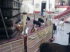 Animals in kamakhya Temple