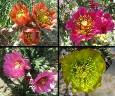 Cholla flowers make up for the rather ugly plant, bronze, red, pink, and a metallic greenish-gold among other colors and shades glow in the desert sun from March through April depending on the weather.