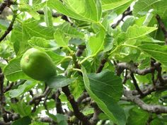 Welcome to TippNet Webmail Edible Plants, Fig Tree, Ficus, Animals And Pets, Herbs, Vegetables, Fruit, Health, Letter