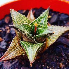 Flowering Haworthia Tessellata !