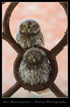 Corujas Little owls…