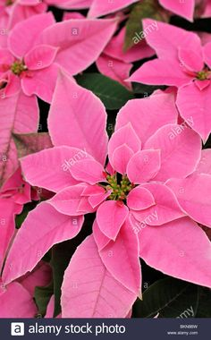 Download this stock image: Christmas star (Euphorbia pulcherrima 'Princettia Hot Pink') - BKN8BW from Alamy's library of millions of high resolution stock photos, illustrations and vectors.