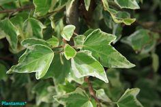 """Hedera helix """"miniata variegata"""". Hiedra variegada http://www.plantamus.es/comprar-plantas-cubresuelos-enredaderas"""