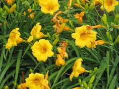 daylilies - had to photo while they are at their peak!
