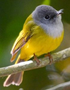 Grey-headed Canary-flycatcher (Culicicapa ceylonensis) Adult perched on branch Rare Birds, Exotic Birds, Colorful Birds, Pretty Birds, Beautiful Birds, Animals And Pets, Cute Animals, Art Chinois, Art Japonais