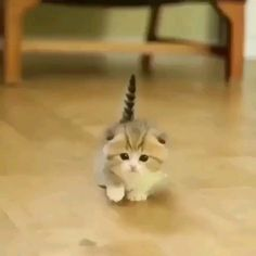Cutest Munchkin Kittens beneath Cute Animals Endangered Species List few Cutest Small Kittens, Cutest Kittens In The World For Sale that Cute Pics Of Animals Cartoon Cute Baby Cats, Cute Little Animals, Cute Cats And Kittens, Cute Funny Animals, Cute Dogs, Funny Cats, Cute Babies, Fluffy Kittens, Kittens Cutest Baby