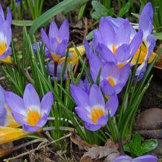 Crocus sieberi Tricolor: In ihrem Herz geht die lila Blüte in ein warmes Gelb über – getrennt von einem hellen weißen Ring. Pflanzzeit für die Blumenzwiebeln sind die Herbstmonate, erhältlich im Onlineshop www.fluwel.de