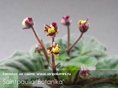 Saintpaulia - Botanika