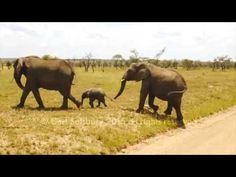 A very small elephant does not want to cross the road. It gets some encouragement and eventually makes it across. Video by Carl Salsbury, filmed in Ngorongor. Elephant Gif, Cute Baby Elephant, Small Elephant, Animals Of The World, Animals And Pets, Baby Animals, Funny Animals, Cute Animals, Save The Elephants