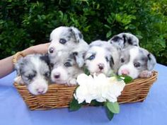 Cardigan Welsh Corgi pictures, information, training, grooming and ...
