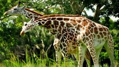 Disney's Animal Kingdom Lodge Sunrise Safar - $75 per person.  Only for Kilimanjaro Club Level Guests, this morning safari offers a relaxed pace and animals aplenty.