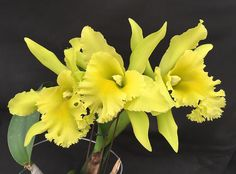 Z-1386 Rhyncholaeliocattleya Ports of Paradise 'Emerald Isle' FCC/AOS (Rhyncholaeliocattleya Fortune x Rhyncholaelia digbyana) Z-1386 #rhyncholaeliocattleya #cattleya #fragrant #orchid #orchidsbyhausermann | by Orchids by Hausermann