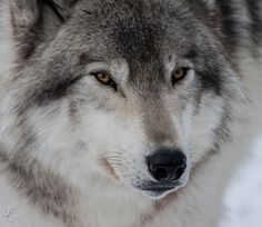 Parc Omega Wolf by Mimi Martin