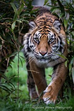 A Sumatran Tiger Walking Through and Out From Bamboo Foliage. (by Jason Brown). Nature Animals, Animals And Pets, Baby Animals, Cute Animals, Wild Animals, Tiger Fotografie, Beautiful Cats, Animals Beautiful, Wildlife Photography