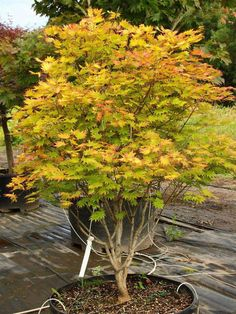 Acer shirasawanum 'Moonrise' PP# 16718 Specimen 1754 Landscape Trees, Garden Design, Dwarf Plants, Garden Pictures, Maple Tree Landscape, Garden Shrubs, Japanese Garden, Shrubs, Japanese Maple Tree