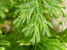 A csipkeharaszt (Selaginella martensii) gondozása - CityGreen.hu Vivarium, Herbs, Plants, Ferns, Herb, Plant, Terrarium, Planets, Medicinal Plants
