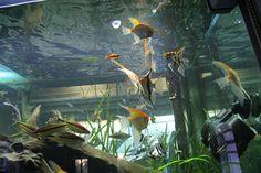 Aquarium - Feeding my Angels...