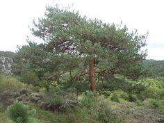 Pino albar. De fuerte y bello color naranja su tronco. Necesita salir por lo menos a una altura de 1400 metros.
