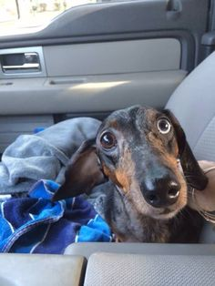 Dachshund going for a ride