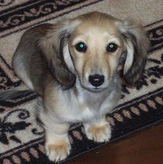 English Cream Dachshund