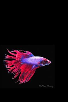 Betta fish / things out of sweet water