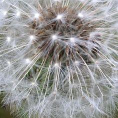 All my #dandelions have gone to #seed #dandelion #plant #flower #flowers #macroandflowers #hobbyphotographer #garden #gardening #garten #gartenliebe #floweroftheday #nature #naturelover #instagood #instaflower #summer #growsomethinggreen #edibleflowers #white #seedhead #seeds