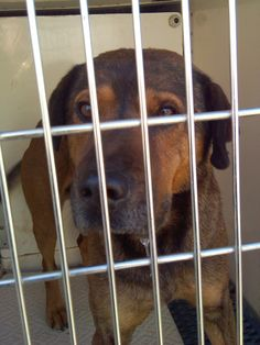 Male unaltered approx weight 55lb approx age 4yrs he is very friendly he was picked up far in the country on a country road when i got out of the truck and called to him he came straight to me he needs a great forever home he will be avail for...