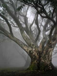Magnificent old tree surround by fog