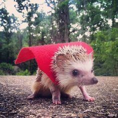 Hedgehog in a cape! Happy Hedgehog, Hedgehog Pet, Cute Hedgehog, Cute Animal Videos, Funny Animal Pictures, Cute Pictures, Cute Baby Animals, Animals And Pets, Funny Animals