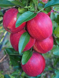 Fruit Plants, Fruit Garden, Fruit Trees, Vegetables Photography, Fruit Photography, Beautiful Fruits, Beautiful Gardens, Fruit And Veg, Fruits And Vegetables