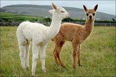 Resultado de imagen para llamas alpacas guanacos y vicuñas