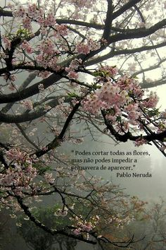 (Prunus) Japanese Cherry Blossom (Sakura 桜) Nature Landscape, Fantasy Landscape, Blossom Trees, Cherry Blossoms, Cherry Blossom Quotes, Cherry Blossom Background, White Cherry Blossom, Flower Blossom, Spring Blossom