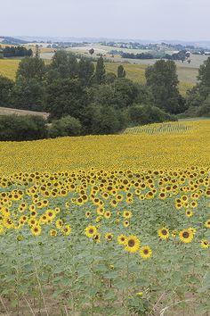 Sunflowers / tournesols. Gascogne, France. Photo: Kajsa Hartig.