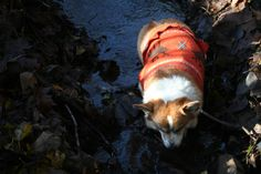 Sir Yorick va Ragnarök forded the river and will probably die of dysentery. #corgi #gamer #oregontrail
